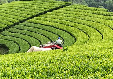 100%京都府南山城村産シングルオリジン宇治茶葉を使用